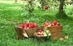 Описание и фото летних сортов яблок + видео