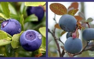 Чем отличается черника от голубики — формы ягод, кустов, видео