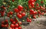 Сорта помидоров для теплиц — Урала, Сибири, видео