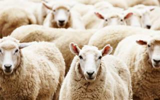 Овцеводство в Австралии — разведение овец-гомологов, бизнес, видео