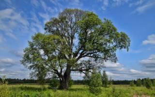 Дерево вяз — где растет в России, фото и описание листьев, семян, видео