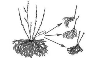 Ежевика — уход, выращивание, размножение черенками, весенняя и осенняя обрезка, видео