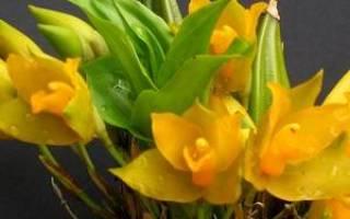 Листопадная орхидея ликаста, описание, выращивание