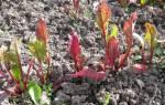 Почему краснеют листья у свеклы и что с этим делать, видео