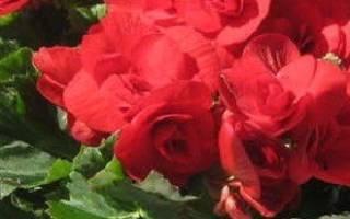 Бегония комнатная секреты выращивания и ухода — видео