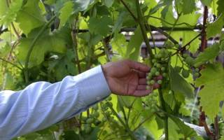 Горошение винограда, способы решения проблемы, видео