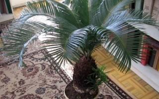 Саговая пальма цикас — уход дома, освещение, грунт, горшок, видео