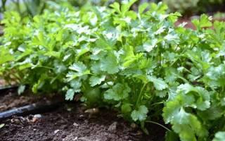 Посев кориандра в открытый грунт — подготовка почвы, сроки, видео