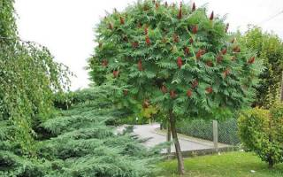 Дерево сумах — посадка и уход, обрезка, применение, видео