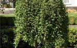 Ива пендула — характерные особенности и выращивание на даче