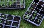 Московский метод выращивания рассады — по-московски, видео