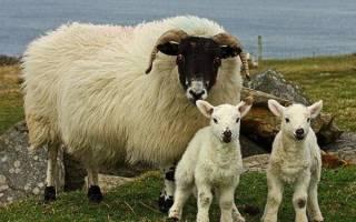 Породы овец — фото и описание романовской, эльдибаевской, курдючной, гиссарской, куйбышевской, дорперской породы, видео