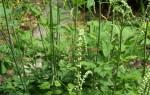 Клопогон трава — полезные свойства, применение в медицине, видео