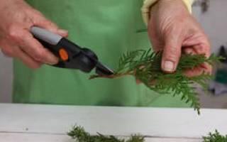 Размножение можжевельника черенками весной в домашних условиях, видео