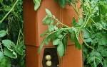 Выращивание картофеля в бочке — техника, советы, видео