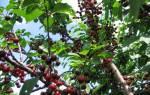Вишня — как повысить урожайность дерева, внесение подкормок, видео