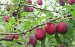 Алыча — посадка и уход в средней полосе России, как правильно посадить саженцы весной, обрезка, видео