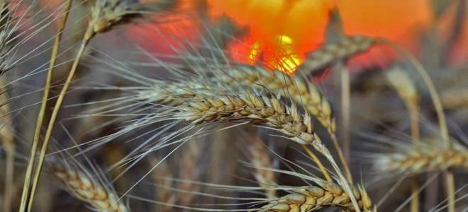 Выращивание ржи — сроки посева, уход, уборка урожая, видео
