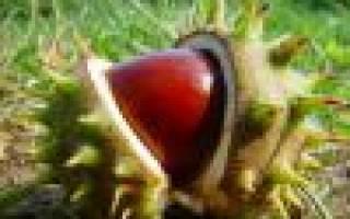 Как прорастить каштан — подготовка ореха и грунта к посадке, видео