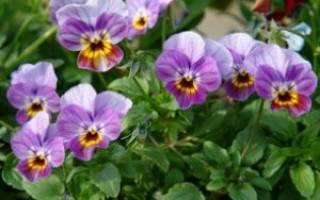 Болезни и вредители виолы — как помочь растениям в открытом грунте, видео