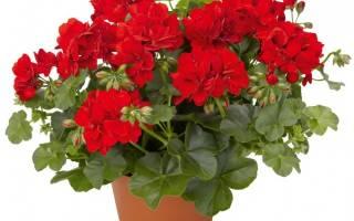 Герань — уход в домашних условиях для начинающих, чтобы растение цвело, проведение обрезки зимой, фото, видео