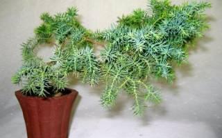 Можжевельник дома в горшке — выбор грунта, выращивание, видео