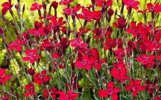 Гвоздика травянка — посадка и уход, выращивание из семян, видео