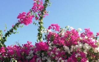 Садовая бугенвиллия — выращивание и уход, посадка в Подмосковье, на северо-западе, на улице, видео