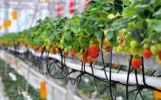 Выращивание клубники на гидропонике, видео