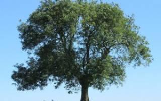 Лечебные свойства ясеня — кора, листья, противопоказания, видео