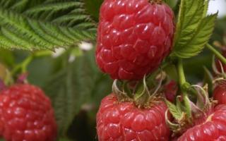 Как вырастить рассаду малины черенками, видео