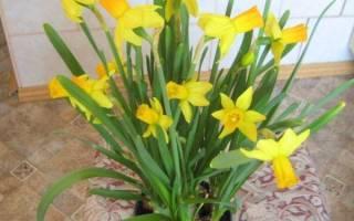 Нарциссы в горшке — как ухаживать после покупки, видео
