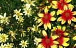 Кореопсис многолетний, мутовчатый, крупноцветковый, лацентовидный, посадка и уход, видео