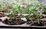 Розмарин из семян — подготовка грунта, сроки посева, уход, видео