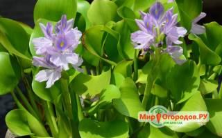 Водный гиацинт Эйхорния — посадка и уход в пруду, фото, видео