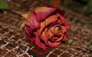 Как засушить розы в домашних условиях, чтобы они не потеряли свою форму, способы, видео