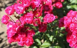 Что такое полиантовые розы, видео