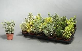 Бересклет комнатный — особенности выращивания дома, правила ухода, видео