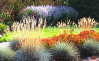 Выращивание овсяницы из семян — посадка и уход, видео