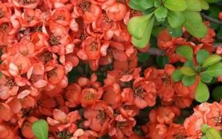 Декоративный кустарник красивоплодник — посадка в Подмосковье