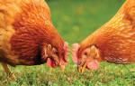 Можно ли давать курам сныть, полезная и опасная трава для птицы