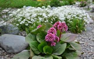 Бадан — лечебные свойства и противопоказания, применение корня, листьев, видео