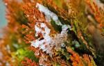 Туя пожелтела после зимы — что делать, как помочь растению, видео