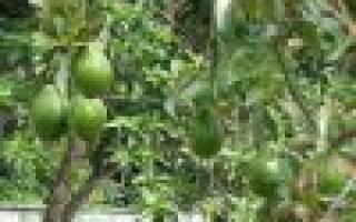 Как растет авокадо в домашних условиях, особенности посадки и ухода,видео