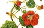 Украшение сада и источник витаминов — цветок настурция, видео