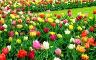Чем подкормить нарциссы и тюльпаны весной, видео