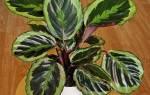Маранта — уход в домашних условиях за растением разных видов, фото, видео