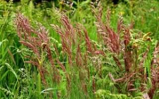 Овсяница луговая — использование для газонов, отличие от других трав, видео