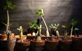 Адениум из семян — выращивание в домашних условиях, посев, проблемы, фото, видео