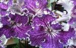 Стрептокарпусы — уход и выращивание из семян или листа в домашних условиях, болезни растений, фото, видео